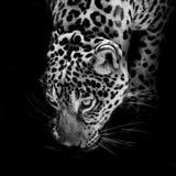 Retrato de Jaguar Imagem de Stock Royalty Free