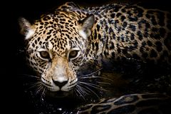 Retrato de Jaguar Fotografia de Stock Royalty Free