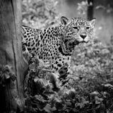Retrato de Jaguar Imagen de archivo libre de regalías