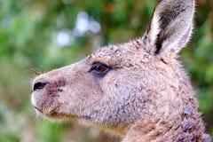 Retrato de Kangarro Foto de archivo libre de regalías