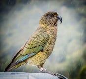 Retrato de Kea Imagens de Stock Royalty Free