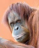 Retrato de Kiani Fotografia de Stock