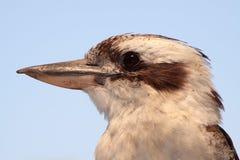 Retrato de Kookaburra Fotografía de archivo libre de regalías