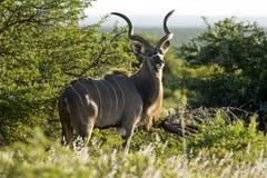 Retrato de Kudu Imágenes de archivo libres de regalías