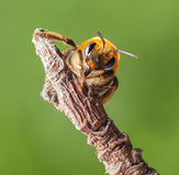 Retrato de la abeja Imagen de archivo libre de regalías