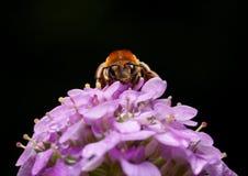 Retrato de la abeja de la miel Fotos de archivo