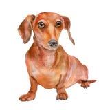 Retrato de la acuarela de la raza lisa roja del perro basset, perro alemán del barger, en el fondo blanco Foto de archivo libre de regalías