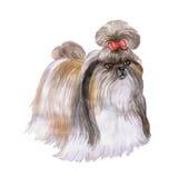 Retrato de la acuarela del perro de la raza del perro del león de Tíbet Shih Tzu Chinese en el fondo blanco Fotos de archivo libres de regalías