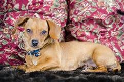 Retrato de la adopción de Chiweenie de la chihuahua del perro basset Imágenes de archivo libres de regalías
