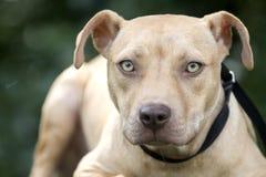 Retrato de la adopción del perro de perrito de Pitbull fotografía de archivo