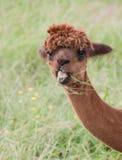 Retrato de la alpaca Fotos de archivo