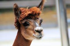 Retrato de la alpaca Imagen de archivo libre de regalías