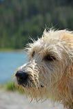 Retrato de la amapola mojada de Labradoodle Fotografía de archivo