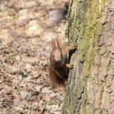 Retrato de la ardilla roja curiosa Foto de archivo