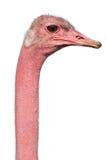 Retrato de la avestruz Imagen de archivo libre de regalías
