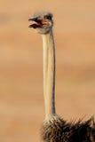 Retrato de la avestruz Fotografía de archivo