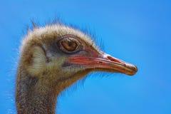 Retrato de la avestruz Imagen de archivo