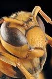 Retrato de la avispa de papel Foto de archivo libre de regalías