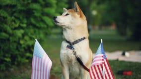 Retrato de la cámara lenta del ganador hermoso del perro del inu del shiba de la competencia del perrito que se coloca en el parq almacen de metraje de vídeo