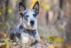 Retrato de la caída del perro australiano del ganado Foto de archivo libre de regalías