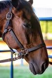Retrato de la cabeza de caballo con el freno imagenes de archivo