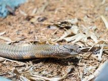 Retrato de la cabeza de la cobra real Foto de archivo