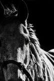 Retrato de la cabeza de caballo Fotografía de archivo libre de regalías