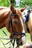 ¡Retrato de la cabeza de caballo!!!! Imagen de archivo