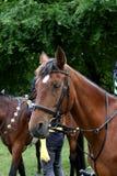 ¡Retrato de la cabeza de caballo!!! Foto de archivo