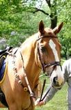 Retrato de la cabeza de caballo Foto de archivo