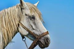Retrato de la cabeza de caballo Foto de archivo libre de regalías