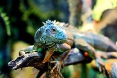 Retrato de la cabeza de la iguana Imágenes de archivo libres de regalías