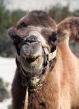 Retrato de la cabeza del camello Imagenes de archivo