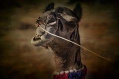 Retrato de la cabeza del camello en Pushkar Imagen de archivo