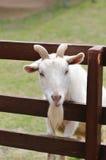 Retrato de la cabra fotos de archivo