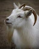 Retrato de la cabra Fotografía de archivo