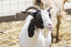 Retrato de la cabra fotos de archivo libres de regalías