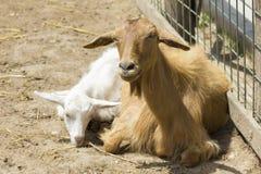 Retrato de la cabra Imagenes de archivo