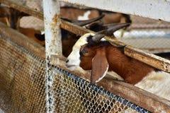 Retrato de la cabra Imagen de archivo libre de regalías