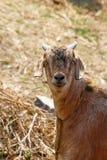 Retrato de la cabra Imagen de archivo