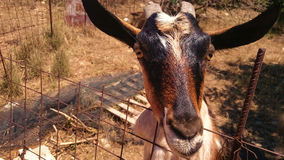Retrato de la cabra Foto de archivo