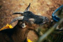 Retrato de la cabra Animales en el parque zoológico imágenes de archivo libres de regalías