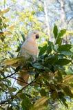 Retrato de la cacatúa blanca que se sienta en un árbol Fotos de archivo libres de regalías