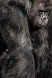 Retrato de la cara de un varón del gorila Imágenes de archivo libres de regalías