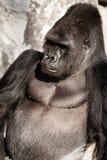Retrato de la cara de un varón del gorila Imagen de archivo libre de regalías