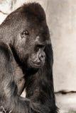 Retrato de la cara de un varón del gorila Imagenes de archivo