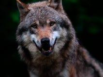 Retrato de la cara del lobo Imagen de archivo libre de regalías