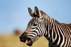 Retrato de la cebra, Masai Mara Fotos de archivo libres de regalías