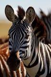 Retrato de la cebra, Masai Mara Fotos de archivo
