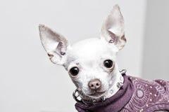 Retrato de la chihuahua Fotografía de archivo libre de regalías
